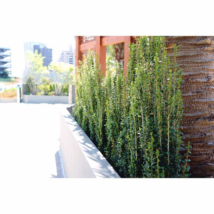 いいね!49件、コメント1件 ― Space Gardeningさん(@s.gardening)のInstagramアカウント: 「生垣にオススメな植栽 『スカイペンシル』 * 横に広がりづらく、成長もゆっくりなのでお手入れも楽です * #スカイペンシル #生垣 #目隠し #植木 #植栽 #おしゃれ #千葉県 #八千代緑が丘…」