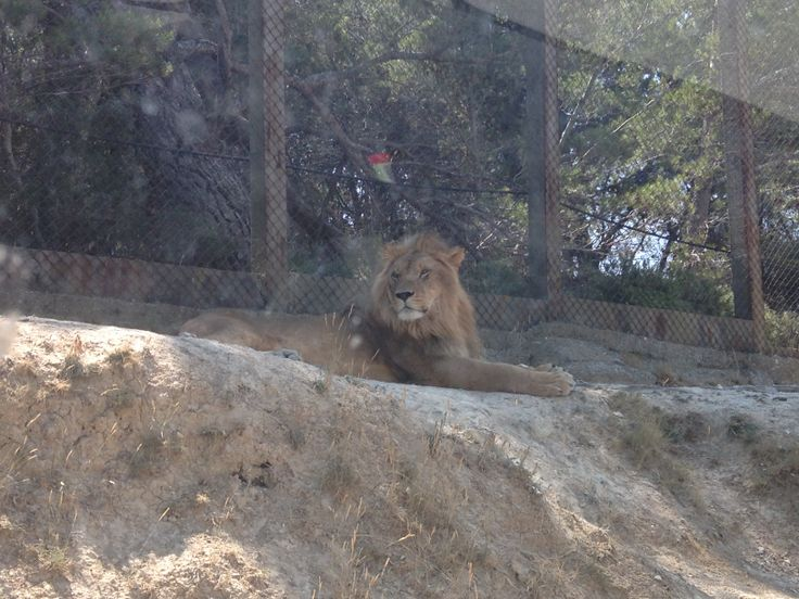 Sigean Zoo, Languedoc. #zoo #lion #france