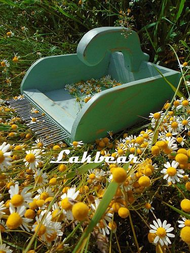 Chamomile harvesting rake made from old drawer