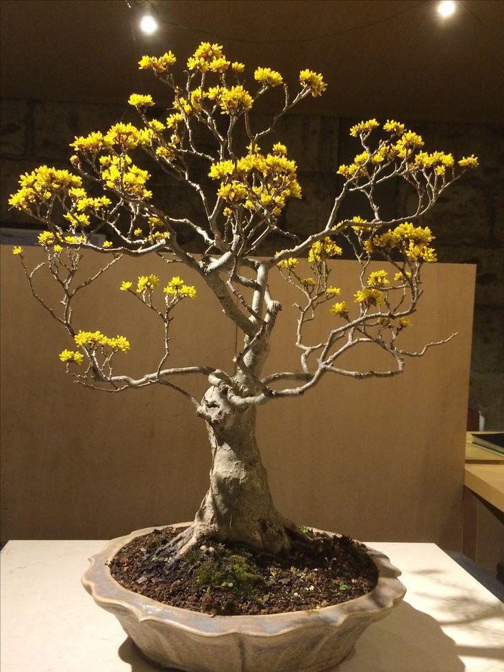 808 Best Bonsai Images On Pinterest Bonsai Bonsai Trees And