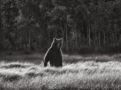 karhu bear ilta-auringossa by Heikki Rantala