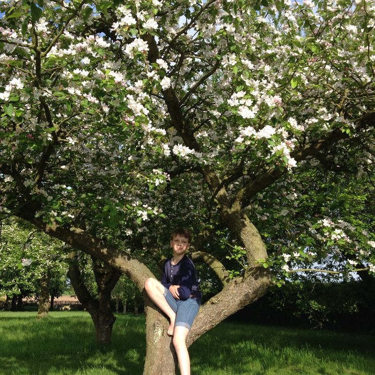 Fabulous Apple blossom in Cavorting in the Country's English garden