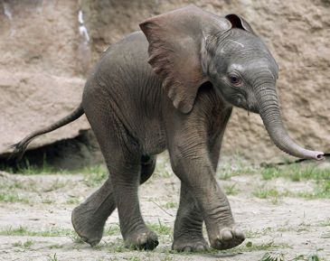 Baby elephants (the world's cutest creatures)