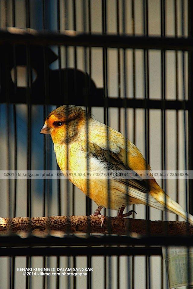 Burung Kenari Kuning di dalam Sangkar