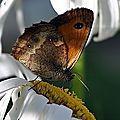 Ce papillon a une préférence pour les ronces et rosiers