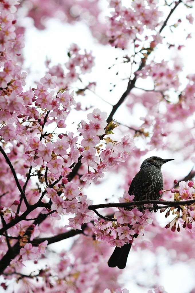 A bird in spring on cherry blossom