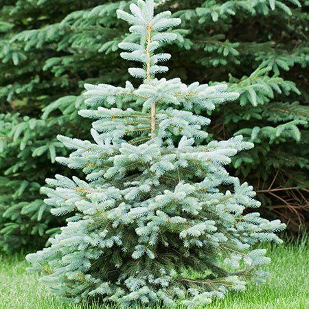 how to grow blue spruce from seed