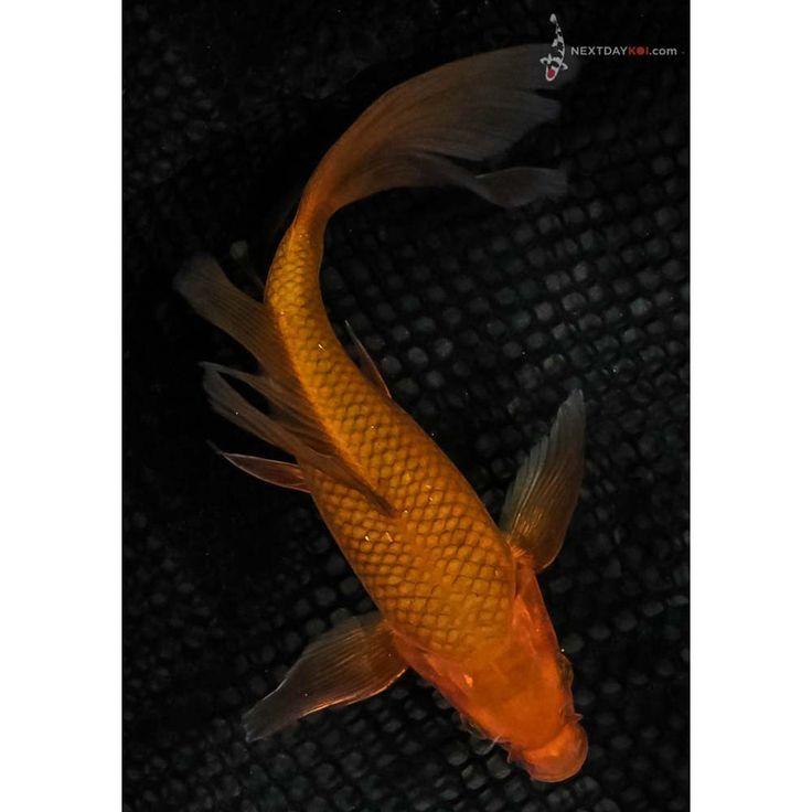 The 25 best koi fish for sale ideas on pinterest koi for Koi tanks for sale