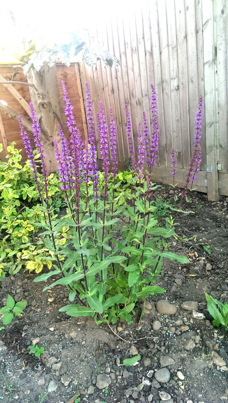 This week's flower is Salvia or Meadow Sage. It means wisdom. Pic taken from my garden :)