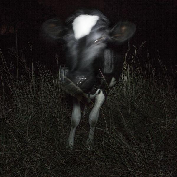 Cows in the dark/ Vacas en la oscuridad by Juan Cristobal Cobo, via Behance