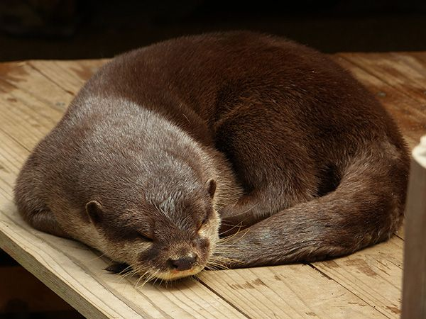 Otter curls up for a nap - August 24, 2014
