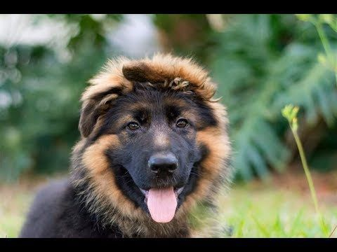 Funny & Cutest German Shepherd Puppies Videos Compilation #7 - Best Dog ...