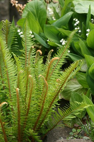 This is one of our most useful native ferns and a staple in the Northwest garden. Sword fern is tolerant of a wide range of soil types and sun exposures, from wet to dry, sun to shade. It is one of the few plants that will tolerate dry shade under the dense growth of Douglas firs and western red cedars. Sword fern is evergreen 3' x 3'| Great Plant Picks