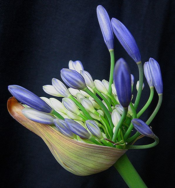 Crowded Agapanthus - regarded in NZ as a wildflower as they spread so prolifically and line the roads in many parts of the country. Good for banks as they prevent erosion because of their deep and tangled root system. Also come in white but blue is the most common.