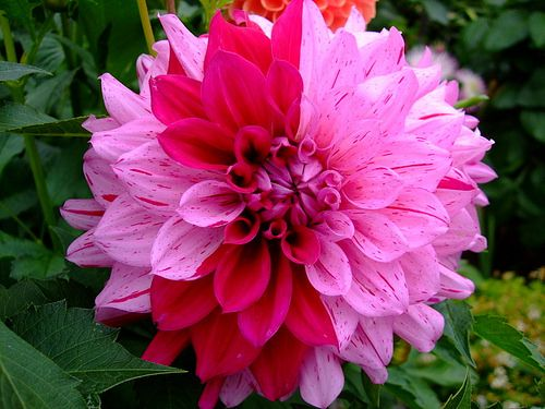 49 best dahlias & zinnias images on pinterest | flowers, pretty