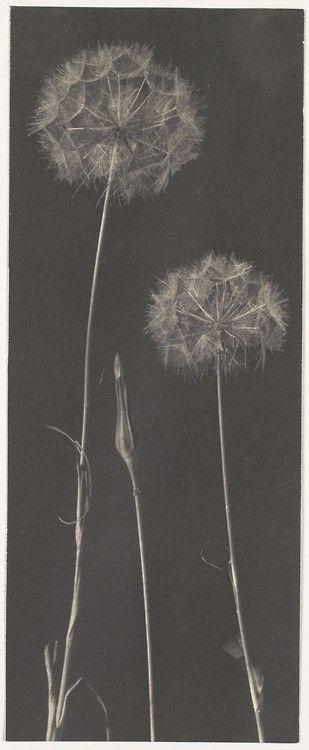 "arsvitaest:  ""Dandelions"" Author: Frederick H. Evans (English,..."