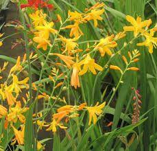 Crocosmia 'George Davison'  Crocosmia 'George Davison' bloeit met oranje bloemen in  juli-september.