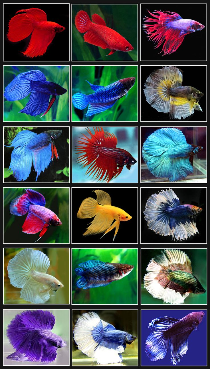 BETTA-SPLENDENS.jpg 1,008×1,767 pixels