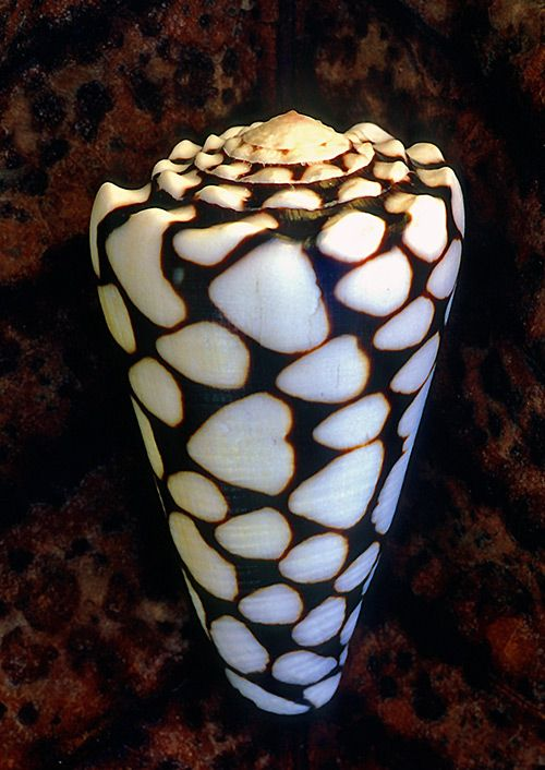 Marbled Cone - Conus marmoreus.  Family Conidae.  This snail is venomous, like all cone snails. Its venom is highly potent, and one drop can kill more than 20 men.