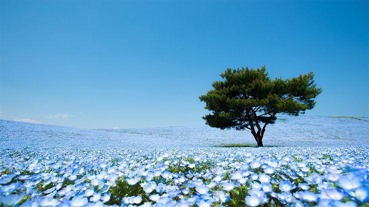 A Sea of 4.5 Million Baby Blue Eye Flowers in Japan's Hitachi Seaside Park  http://www.thisiscolossal.com/2014/07/a-sea-of-4-5-million-baby-blue-eye-flowers-at-hitachi-seaside-park/