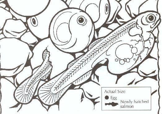 1000 images about chinook salmon on pinterest colors free printable coloring pages and hallways. Black Bedroom Furniture Sets. Home Design Ideas