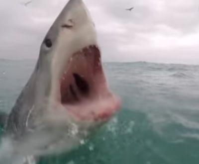 Κάμερα κατέγραψε τον τρόπο που επιτίθεται ένας λευκός καρχαρίας