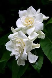 ∴ The incredible scent of gardenias #fragrance