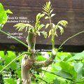 Weinrebe schneiden *Einfache Anleitung* Schnitt, Rebschnitt - Echter Wein Vitis vinifera, Schneiden Pflege Pflanzen Bilder Fotos Garten