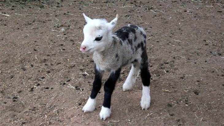 Butterfly, a half pygmy goat, half sheep, born at a petting zoo in Scottsdale, Arizona.