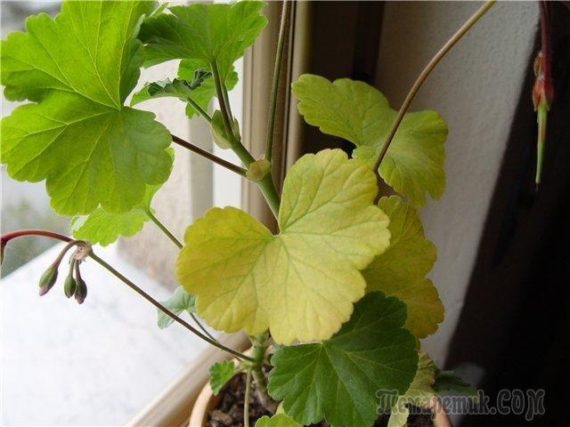 Почему у комнатных растений и домашних цветов желтеют листья?