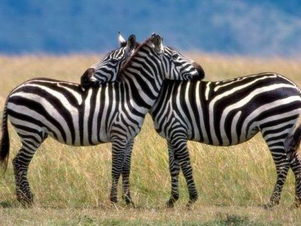 Zebras in the wild will only sleep standing up, and only if another zebra is around to guard them. They are very social and will often rest their heads together, one awake and the other on the look out for predators.
