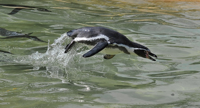Today is World Penguin Day. Have Some Penguins!