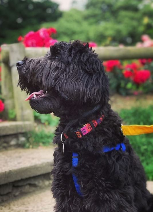 Labradoodle Colors A Complete Guide To Every Labradoodle Shade Black Labradoodle Labradoodle Mixed Breed