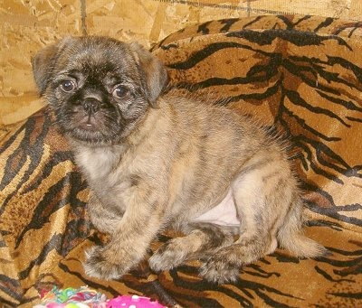 Pug-Zu (Pug and Shih-Tzu mix) It's totally different but kind of cute!