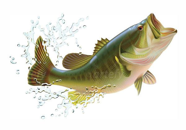Largemouth bass' hunting. Vector illustration workflow.