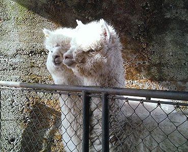 Alpakka og lama | Norsk Kamelidforening - Alpakka, lama | Norsk Kamelidforening