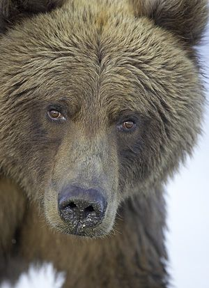 Photos of Grizzly bears - Google Search