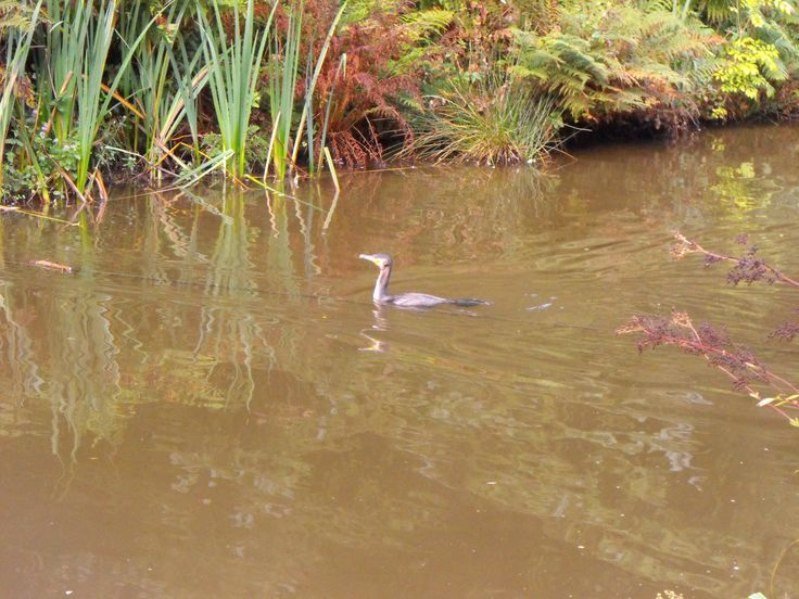 Comorant on the millpond and Deerpark #Cornwall #ForestRetreat UKgetaway