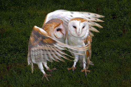 Barn Owls / Kerkuilen                                                                                                                                                                                 More
