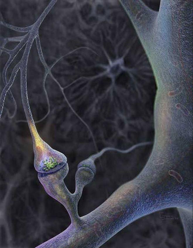 Adult Brain Cells Do Keep Growing