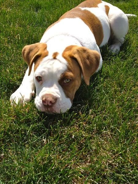 What a beautiful girl! She is an American Bulldog puppy.
