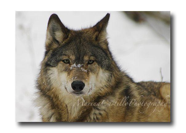 Wolves of Ely, Minnesota International Wolf Center by Marina Castillo