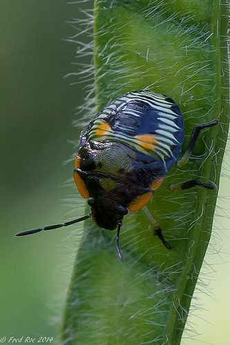 Green Stink Bug nymph [Chinavia hilaris]