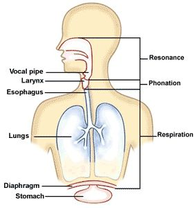 17 Best images about Vocal Anatomy on Pinterest   Models  Vowel sounds and Eyes