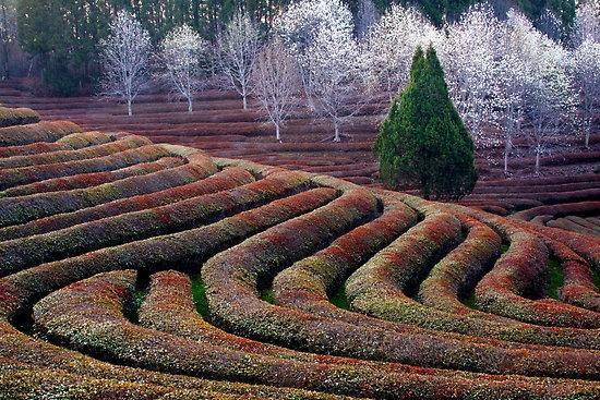 Tea Farm - South Korea: Hot Teas, Colour, Teas Riff, Green Teas,  Labyrinths, Beau Teas Ful, White Trees, Artisan Teased Teapots Misc, Teas Farms