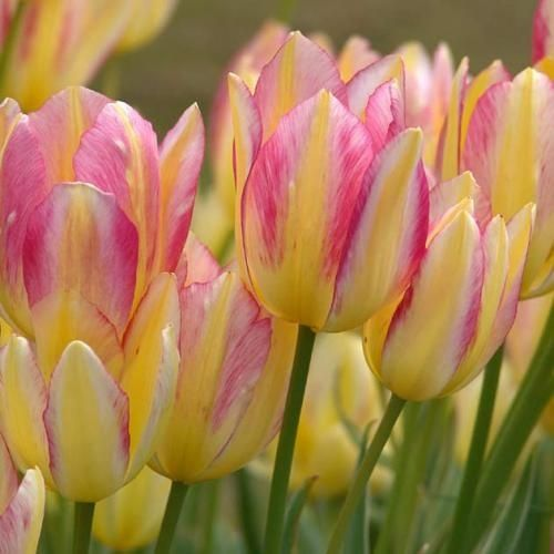 Tulips.  If that doesn't say SPRING, I don't know what does. So pretty!