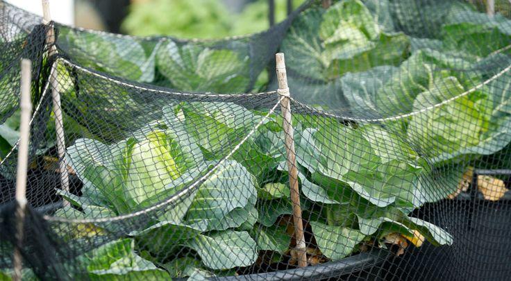 Защитим Свой Огород От Вредителей Сад огород защита от вредителейОбрабатывая грядки на приусадебном участке, дачники стараются вырастить экологически чистые продукты. Поэтому защита культурных растен…