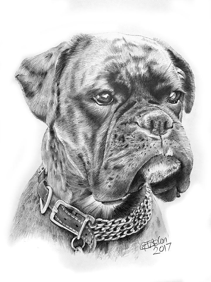 Boxer dog pencil drawing of Martha. Quite a character and a joy to draw