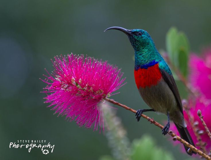 Greater Double-collared Sunbird   by SteveBailey