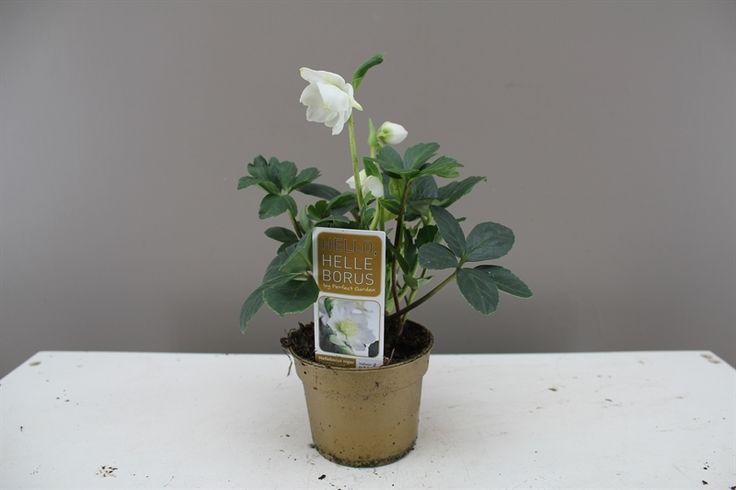 Lovely Helleborus Christmas Carol Mini - Brilliant Christmas gift - Suitable for Wife, Girlfriend, Mum - Flowers in the winter - 15cm - best4garden.co.uk Ltd